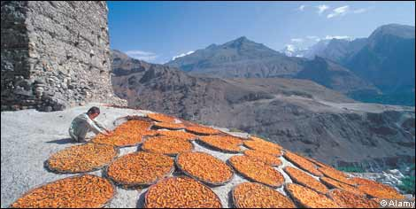 Drying apricots under the sun